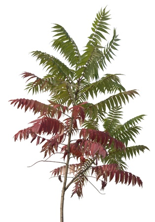 allegory painting: little staghorn sumac tree with green and red leaves at autumn time, isolated on white