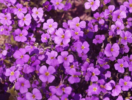 full frame background with violet colored flowers seen from above photo