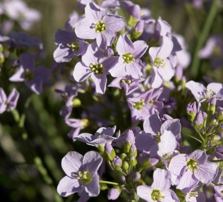 violet flower closeup in sunny ambiance at spring time Stock Photo - 10839456