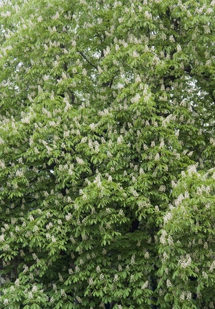 chestnut tree: full frame natural background with lots of chestnut tree blossoms Stock Photo