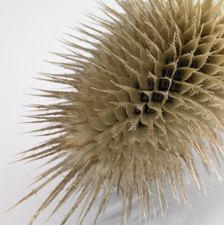 spinous: abstract detail of a sere brown thistle blossom in light back Stock Photo