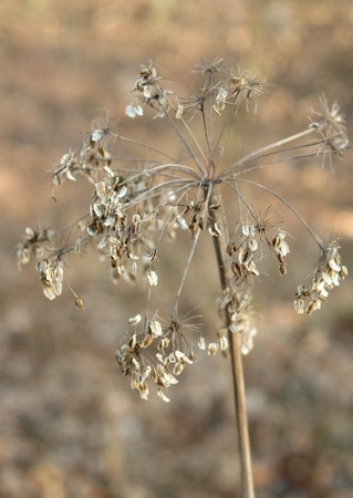 sere: dry plant stalk with seeds in blurry backother dry stuff: Stock Photo