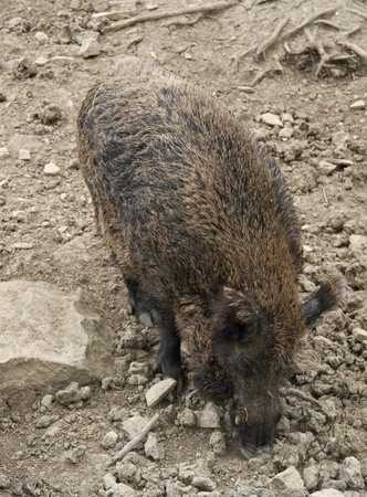 high angle shot of a wild boar in earthy and stony ambiance Stock Photo - 10839800