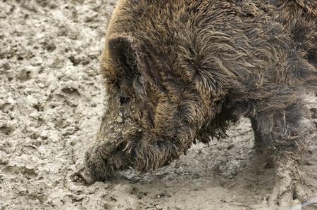 sideways portrait of a wild boar in muddy ambiance photo