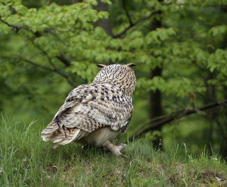 a Long-eared Owl sitting on the ground in forest ambiance Stock Photo - 10839552
