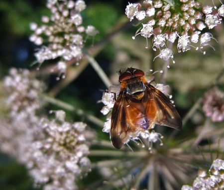 fly on wild carrot flower, seen from above photo