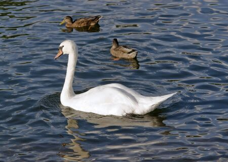 a swan and some ducks swimming on a river photo