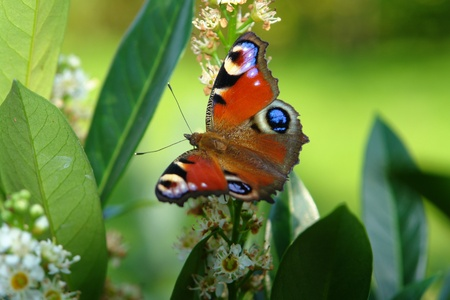 deterrence: peacock butterfly and leaves in green sunny back Stock Photo