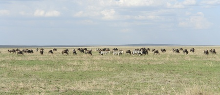 great plains: lots of animals in the Serengeti in Tanzania (Africa)