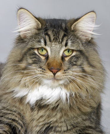 portrait of a Norwegian Forest Cat Stock Photo - 10863034