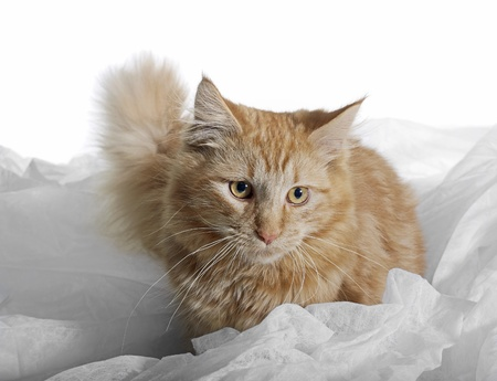 red brown Maine Coon kitten surrounded by white fabrics photo