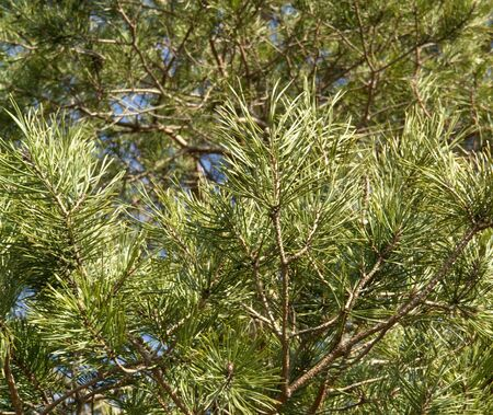 pine needle background in sunny ambiance photo