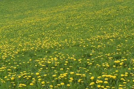 natural background showing a sunny meadow with flowers at spring time photo