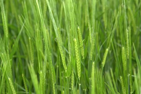 agrar: nature background with fresh green grain spikes