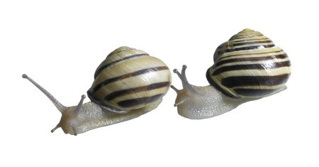 studio photography of two grove snails behind and on each other in white back Stock Photo - 10862184