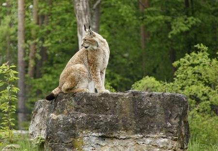 lince: lado plano de un lince euroasi�tico sentado en la formaci�n de roca en frente de la espalda de los bosques