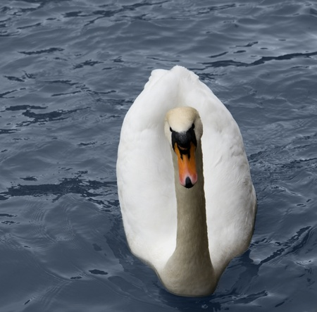 swimming swan in blue water ambiance photo