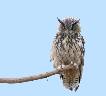 bough: low angle shot of a eagle owl sitting on a bough in front of light blue back Stock Photo