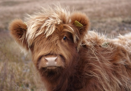 closeup cow face: portrait of a red brown long haired Highland cattle in Scotland