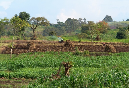plowed: detail of a traditional small village near Rwenzori Mountains in Uganda (Africa) with agriculture in sunny ambiance