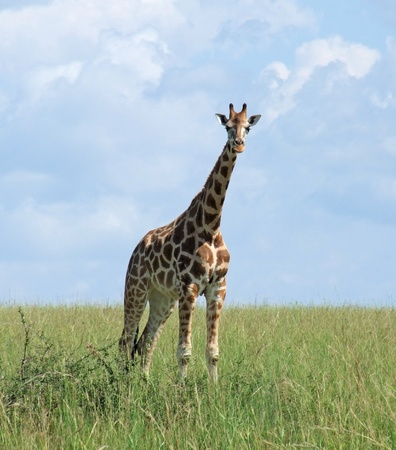 species living: a Rothschild Giraffe and wide grassland in Uganda (Africa)