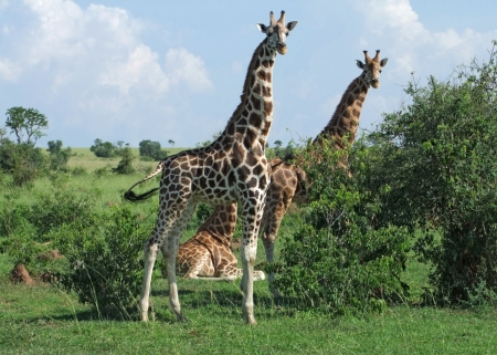 'living organism': some Rothschild Giraffes and green vegetation in Uganda (Africa)