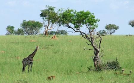 african savannah scenery including a Rothschild Giraffe in Uganda (Africa) photo