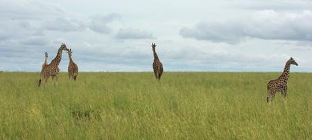 wide african grassland scenery with some Rothschild Giraffes in Uganda (Africa) photo