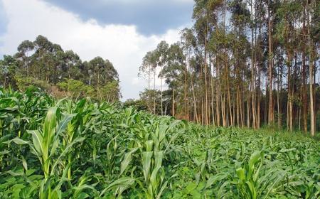 bowery: corn plantation in Uganda (Africa)