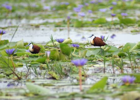 jacana: two birds named African Jacana on overgrown water surface with blue flowers in Uganda (Africa)