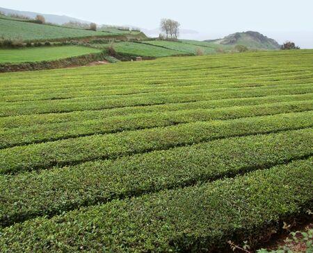 tea plantation at Sao Miguel Island photo