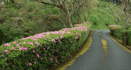 agriculture azores: small street near flourish hedge at Sao Miguel Island