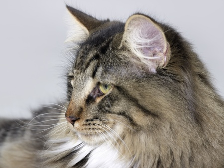 sideways portrait of a Norwegian Forest Cat in grey back Stock Photo - 10917593