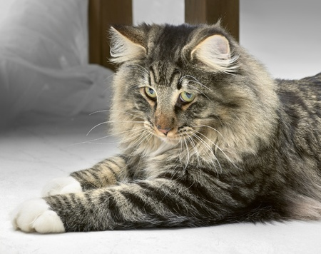 Norwegian Forest Cat resting on the ground photo
