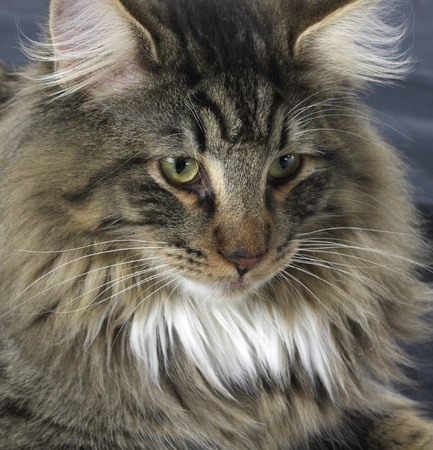 portrait of a Norwegian Forest Cat Stock Photo - 10916916