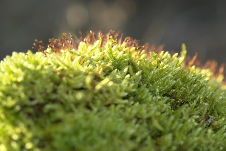 morass: macro shot showing some moss sporangiums in sunny ambiance Stock Photo