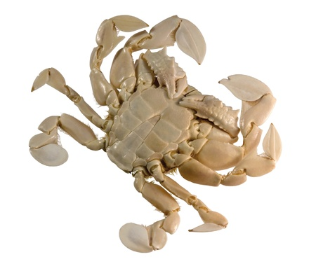 omnivores: underside of a moon crab in white background