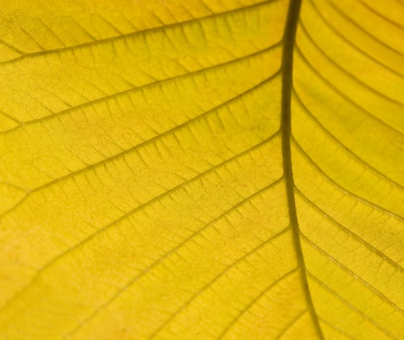 momentariness: abstract detail of a yellow autumn leaf