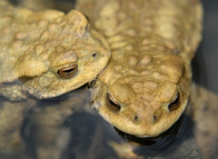 moistness: capi di due rospi comuni closeup