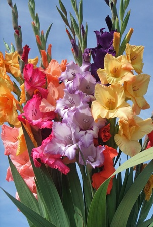iris flower: a sunny illuminated bunch of colorful gladioli flowers in front of blue sky