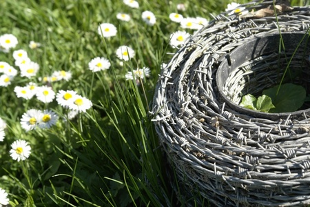 roll of barbed wire in a meadow with lots of daisy flowers at spring time in sunny ambiance photo