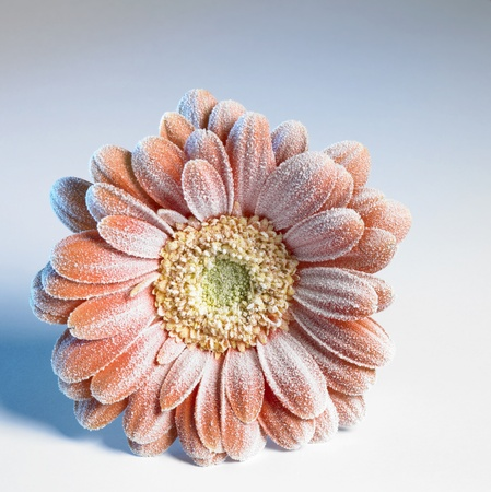 symbolic picture showing a ice covered  gerbera flower in bluish back photo