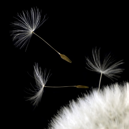 some dandelion seeds in black back