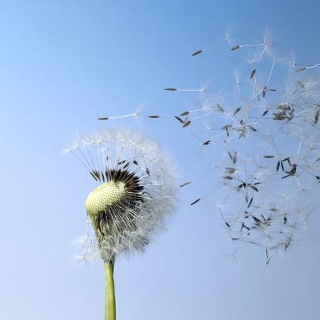 flying dandelion seeds in blue back photo