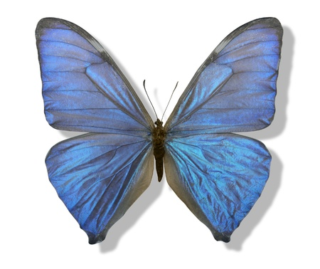 chatoyant: chatoyant blue butterfly with spread wings in white back with shadow Stock Photo
