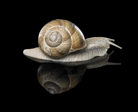 edible snail: studio photography of a Grapevine snail creeping in black reflective back