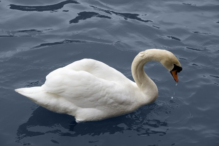 wavily: sideways shot of a swimming swan in blue water ambiance Stock Photo