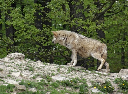 sideways shot of a Gray Wolf in forest ambiance Stock Photo - 11571618