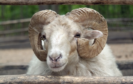 portrait of a domestic sheep in agricultural ambiance Stock Photo - 10914285