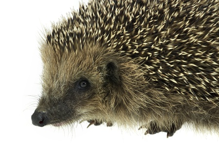 low angle sideways hedgehog portrait. Studio photography in white back Stock Photo - 10917610